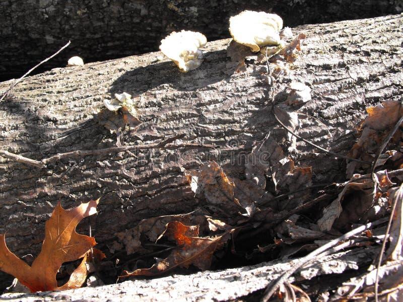 Arbre avec des champignons de couche image stock