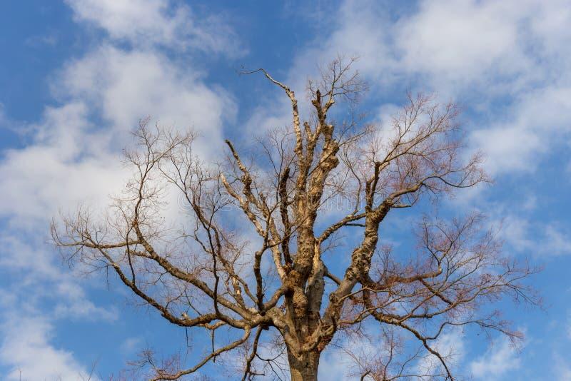 Arbre avec la saison d'hiver de nuage blanc et de ciel bleu au Japon image stock