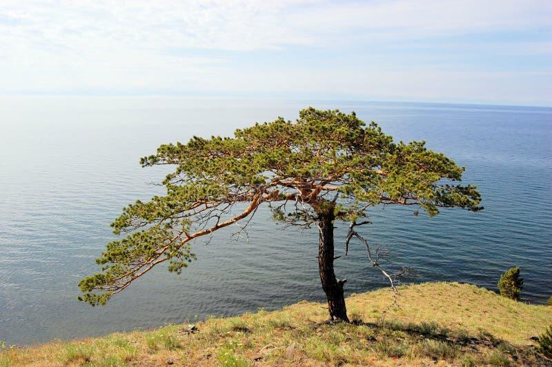 Arbre avec la vue de côte de lac Baikal, Sibérie, Russie image stock
