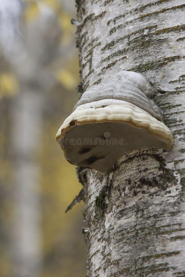 Arbre avec le champignon de sabot de cheval. photo libre de droits