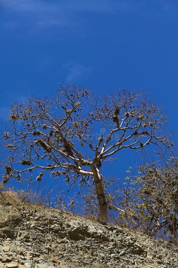 Arbre avec le lichen de barbe en Equateur du sud images stock