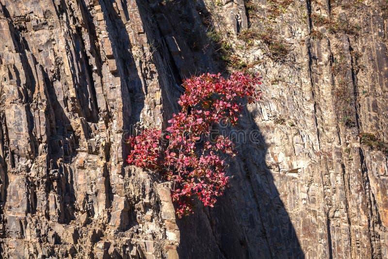 Arbre avec les feuilles d'automne rouges sur une roche photo libre de droits