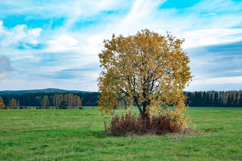 Arbre avec les feuilles jaunes en automne contre le ciel bleu, paysage sur le champ images libres de droits