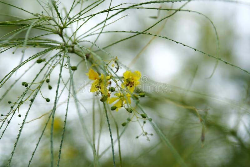 Arbre avec les lames minces et les fleurs jaunes photos libres de droits