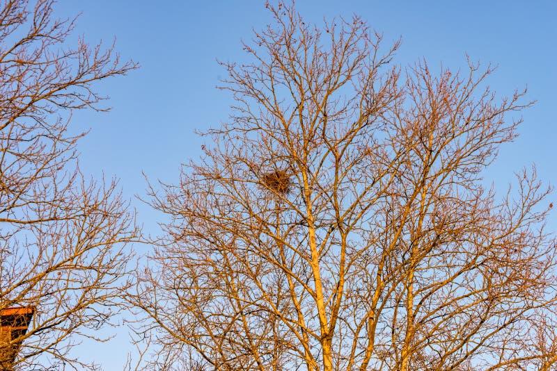 Arbre avec un nid du ` s d'oiseau dans la couronne images stock
