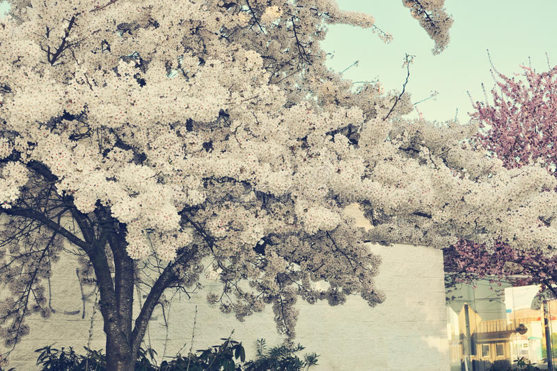 Arbre blanc de fleurs de cerisier dans mes rêves photo stock