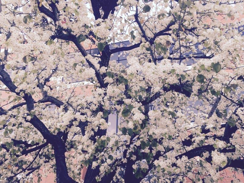Arbre blanc de Sakura photos stock