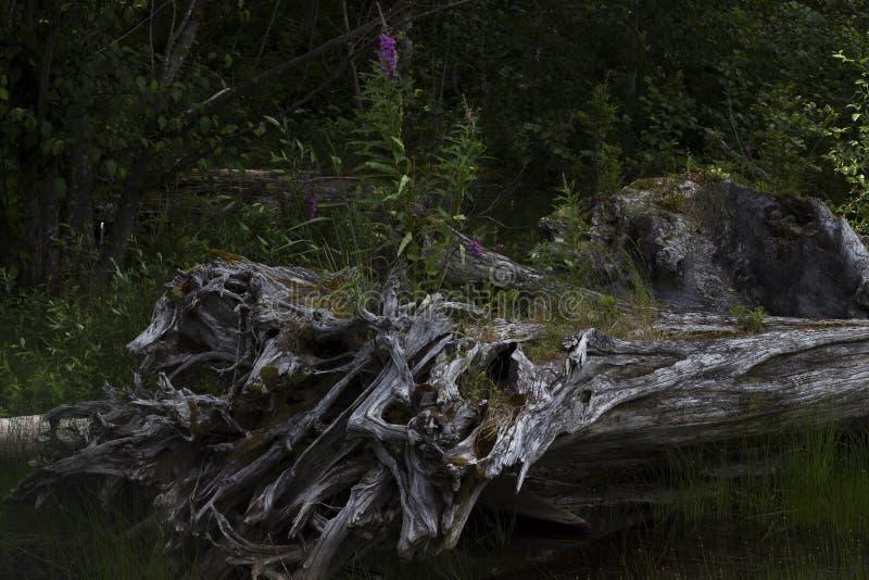 Arbre brûlé, lac Coldwater, Washington photos stock