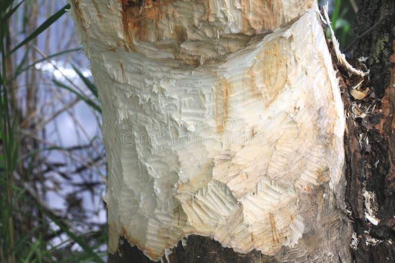 arbre Castor-endommagé photographie stock