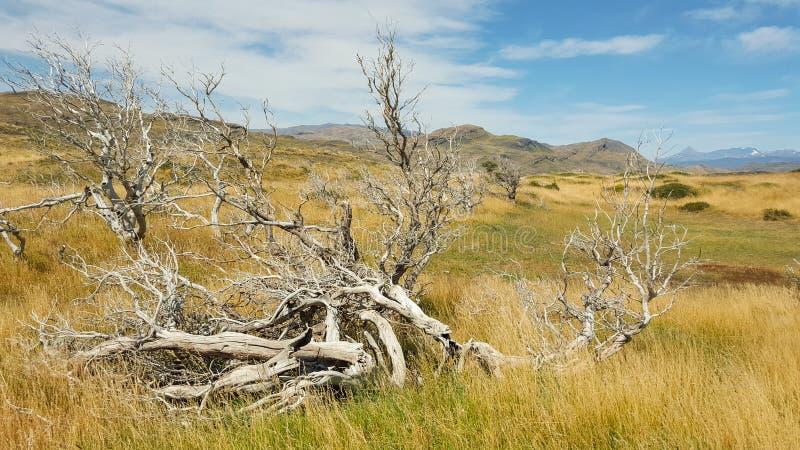 Arbre, champ d'herbe, et montagne secs au parc national de Torres del Paine photos stock