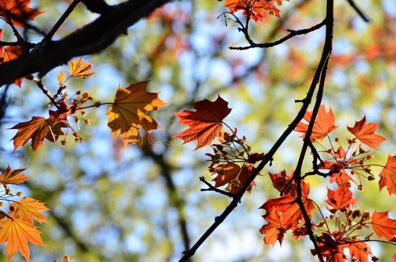 Arbre coloré de fond de feuilles d'automne image stock