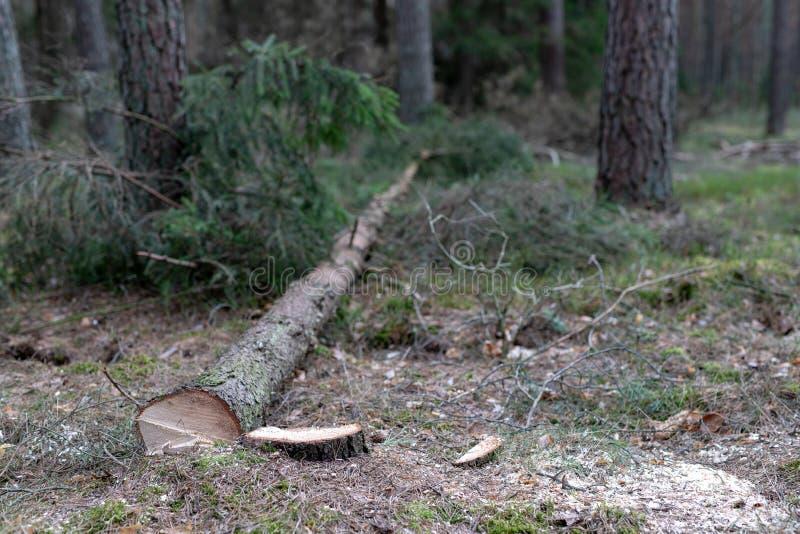 Arbre conifére réduit Tronc et rondin d'un arbre images libres de droits