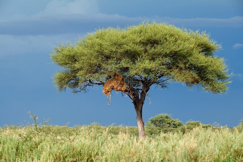 Arbre contre un ciel foncé - Etosha photos libres de droits