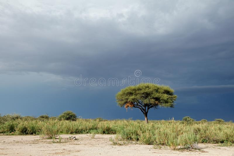 Arbre contre un ciel foncé - Etosha photos stock