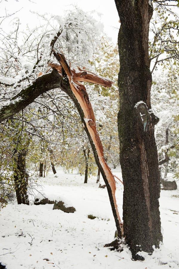 Arbre dédoublé dans la moitié en parc d'hiver photographie stock