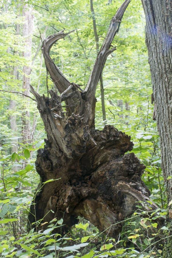 Arbre déraciné dans la forêt image stock