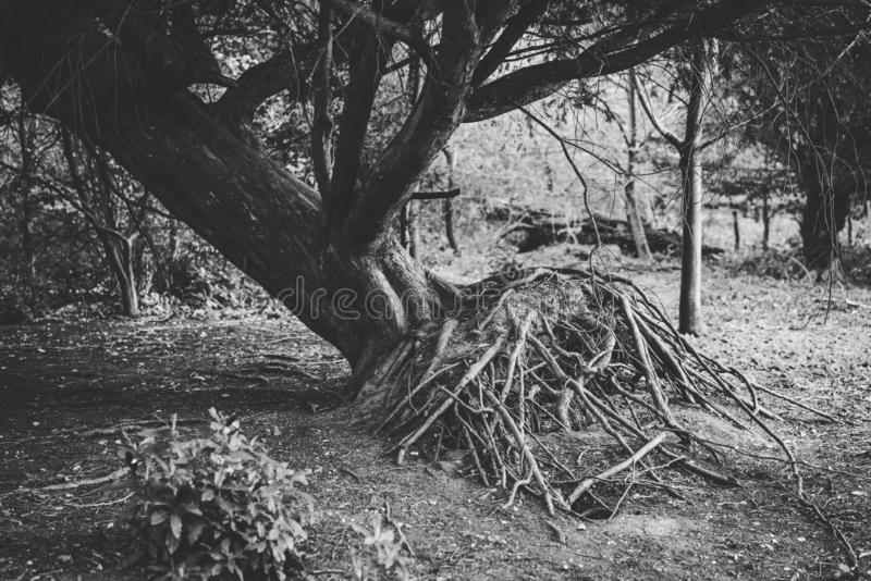 Arbre déraciné en Forest Showing Roots Rebecca 36 image stock