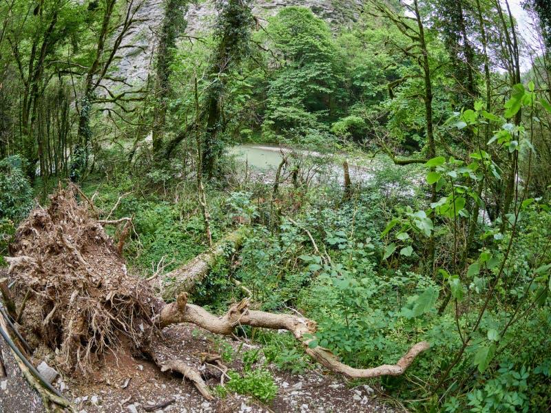 Arbre déraciné sur la banque d'une rivière de montagne images libres de droits