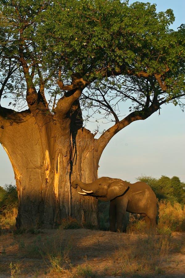 Arbre d'éléphant africain et de baobab au lever de soleil photos stock