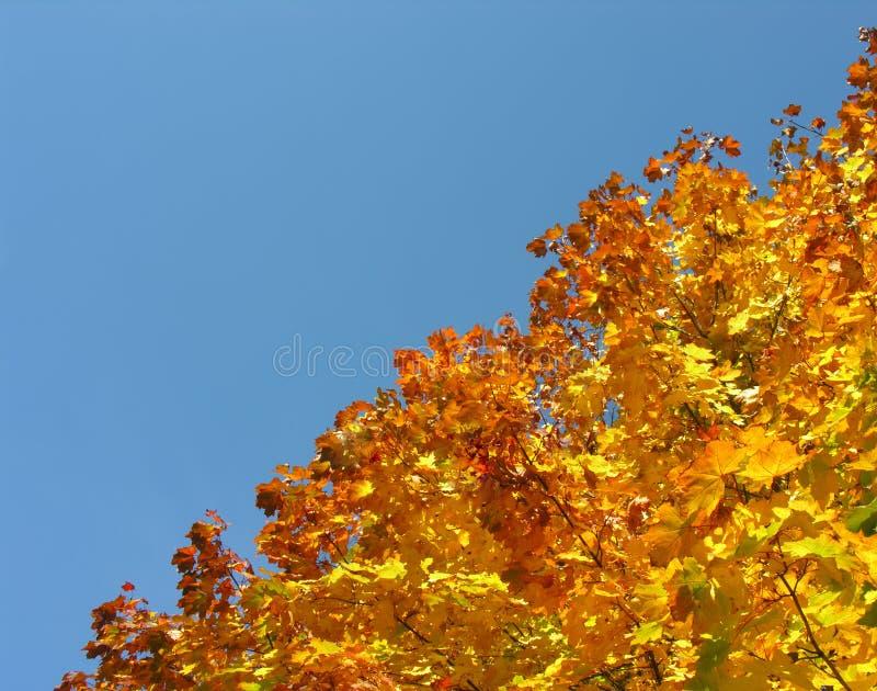 Arbre d'érable avec les feuilles jaunes d'érable d'automne photos stock