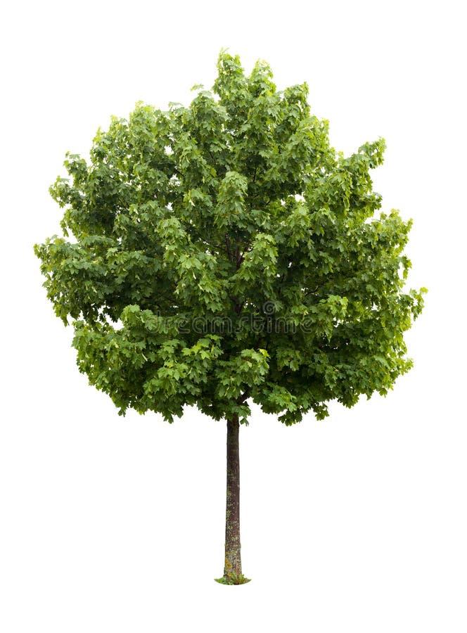 arbre d'érable d'isolement image libre de droits