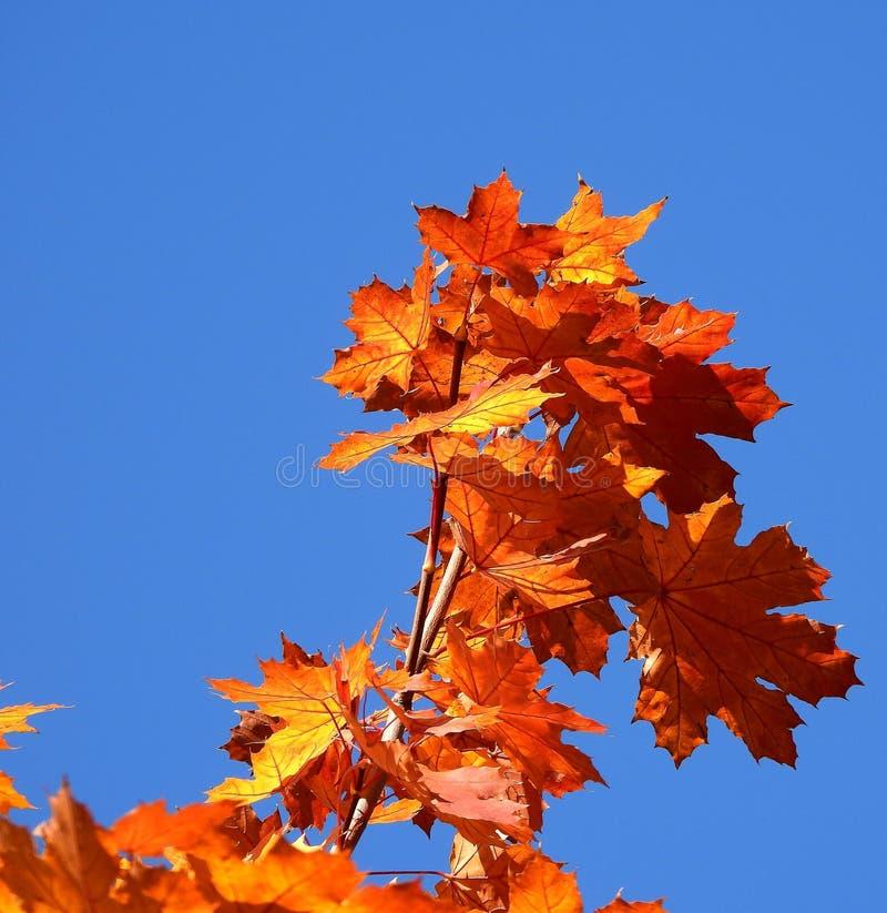 Arbre d'érable dans l'automne photographie stock