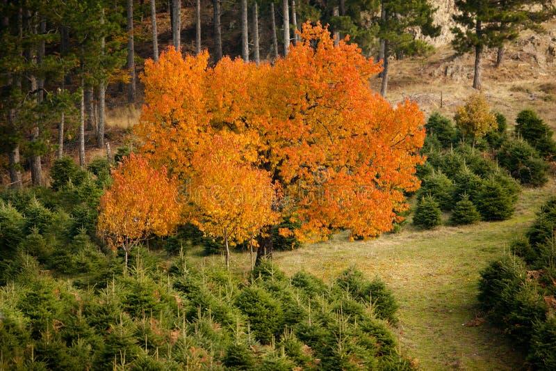 Arbre d'érable en automne image libre de droits