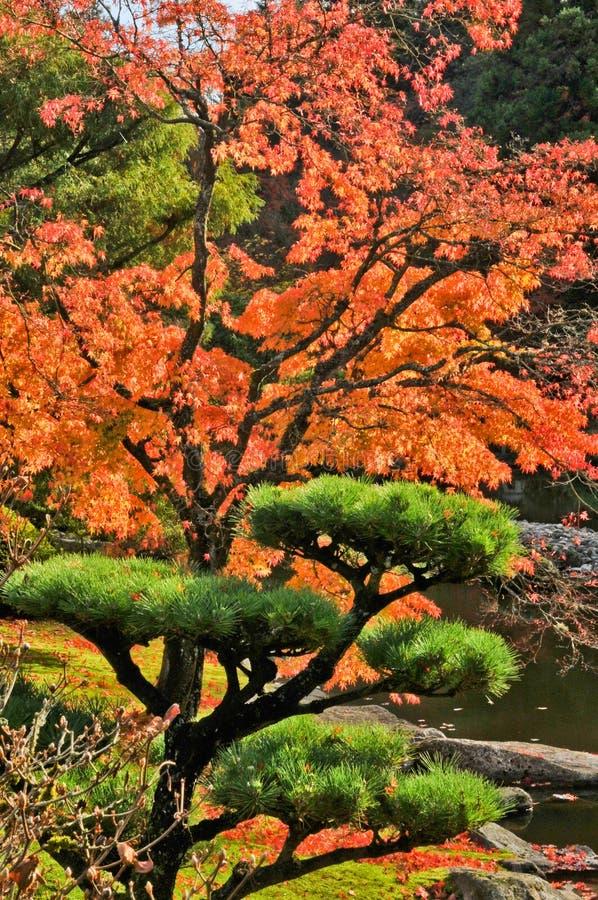 arbre d 39 rable et de pin d 39 automne dans le jardin japonais image stock image du automne. Black Bedroom Furniture Sets. Home Design Ideas