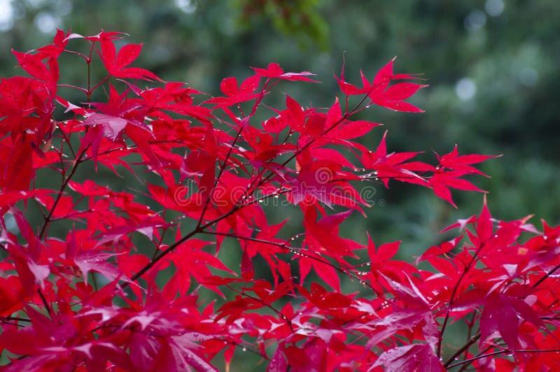arbre d 39 rable japonais rouge photo stock image du arbuste vert 16861570. Black Bedroom Furniture Sets. Home Design Ideas