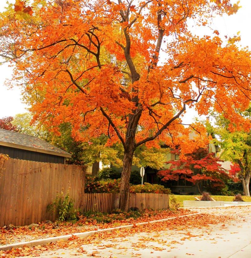 Arbre d'érable orange brillant sur la rue traditionnelle de voisinage avec les feuilles colorées au sol images stock