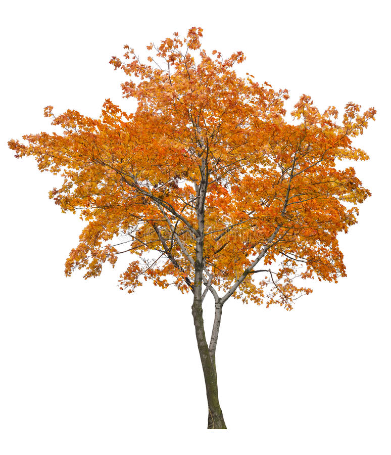 Arbre d'érable orange simple d'isolement lumineux photo stock