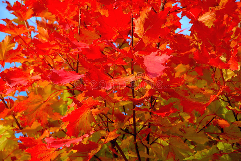 Arbre d'érable rouge en automne image stock