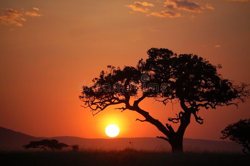 Arbre d'acacia au coucher du soleil africain photo libre de droits
