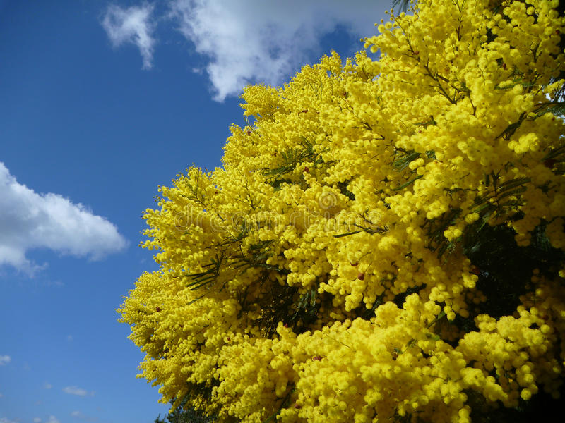 Arbre d'acacia dans le blossum jaune brillant images stock