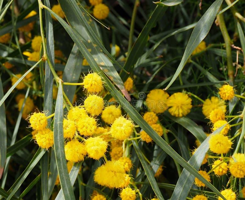 Arbre d'acacia en fleur en Crète images stock