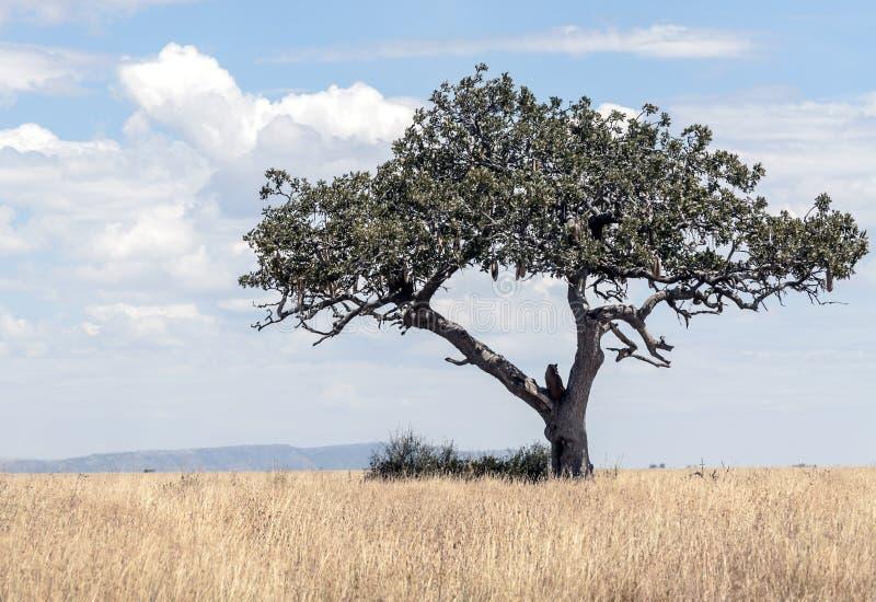 Arbre d'acacia en Tanzanie photo stock