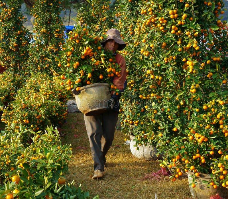 Arbre d'agrume vietnamien de vente de personnes au marché photo stock