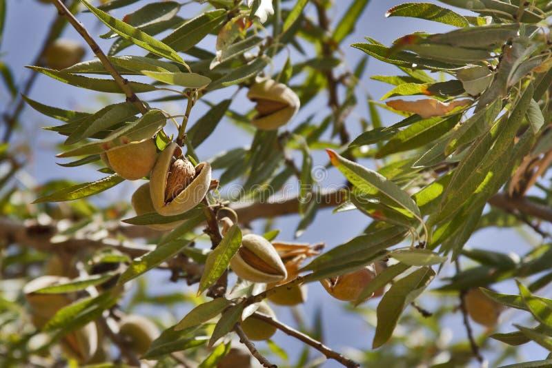 Arbre d 39 amande image stock image du t amande arbre 27109115 - Fruit de l amandier ...