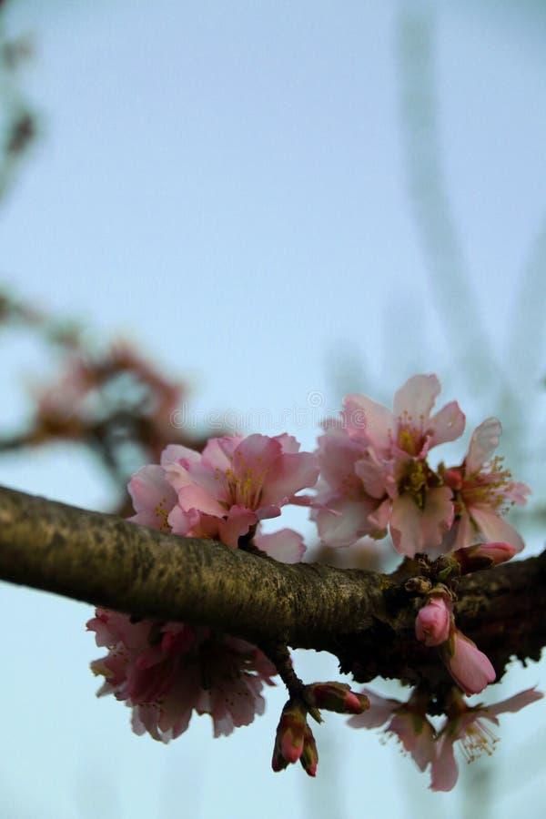 Arbre d'amande en fleurs roses image libre de droits