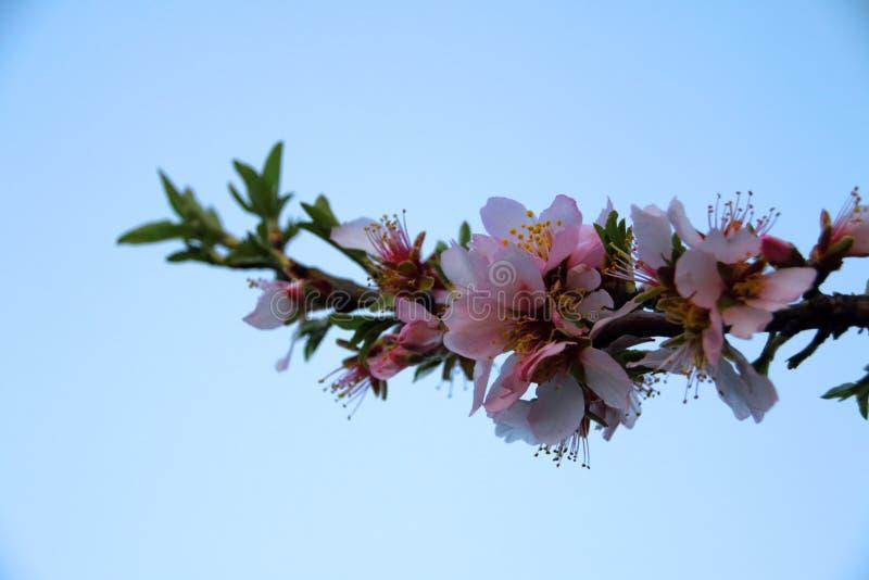 Arbre d'amande en fleurs roses photo stock