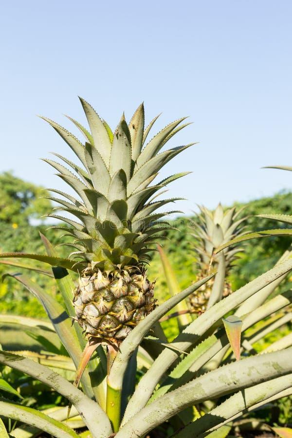 arbre d 39 ananas image stock image du plantation frais 47757951. Black Bedroom Furniture Sets. Home Design Ideas