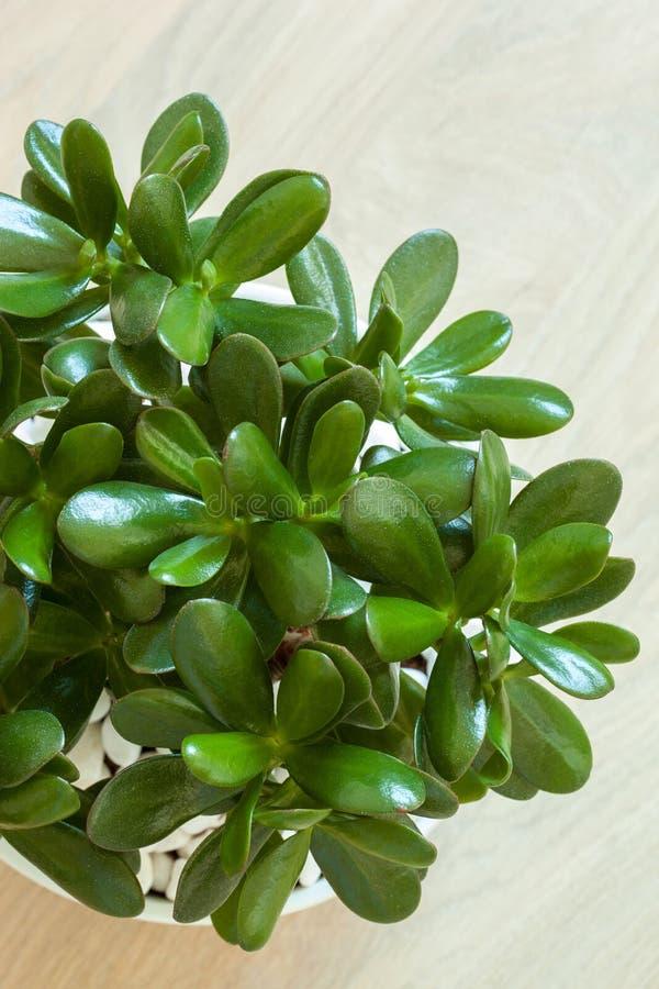 arbre d 39 argent d 39 usine de jade d 39 ovata de crassula de plante d 39 int rieur dans le pot blanc photo. Black Bedroom Furniture Sets. Home Design Ideas