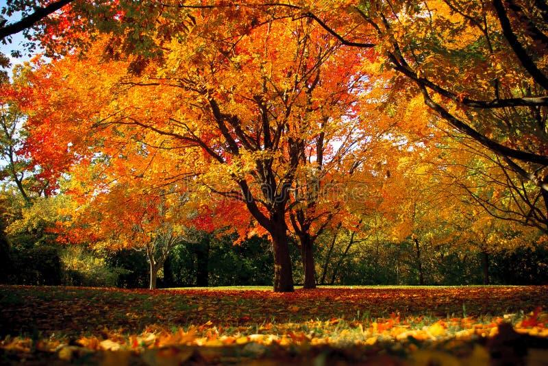 Arbre d'automne au haut stationnement images libres de droits