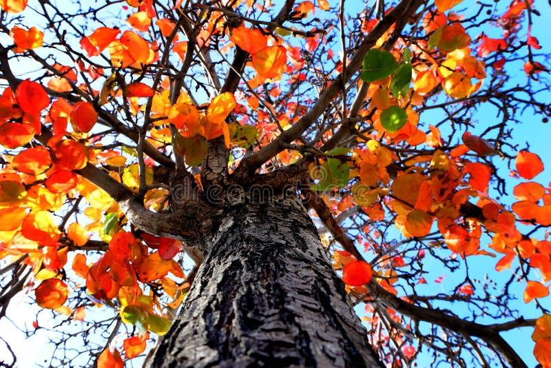 Arbre d'automne avec feuilles colorées et ciel bleu automne images libres de droits