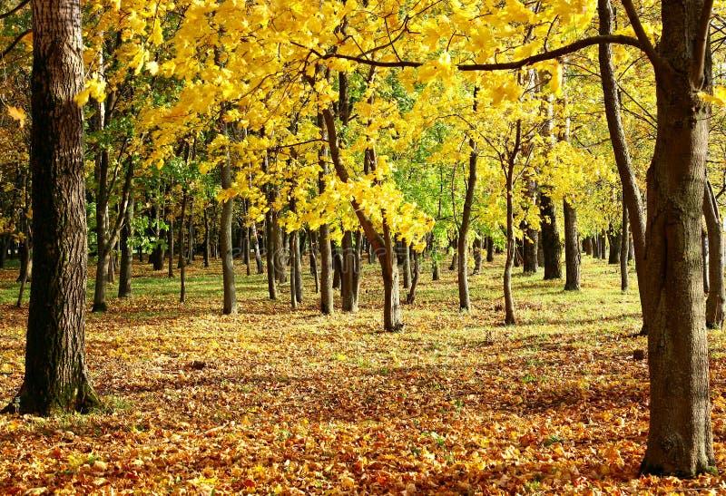Arbre d'automne avec les feuilles d'or au soleil photos stock