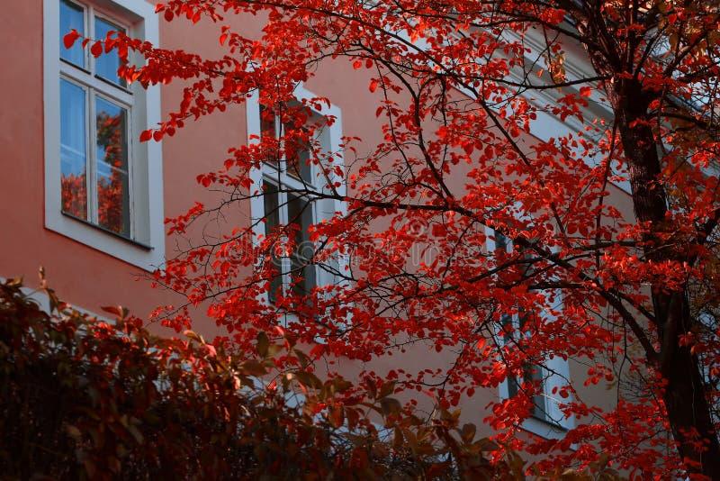 Arbre d'automne avec les feuilles rouges photos libres de droits