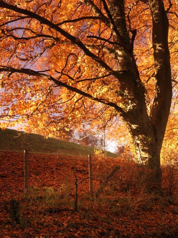 Arbre d'automne en feu avec la couleur de soirée photographie stock libre de droits
