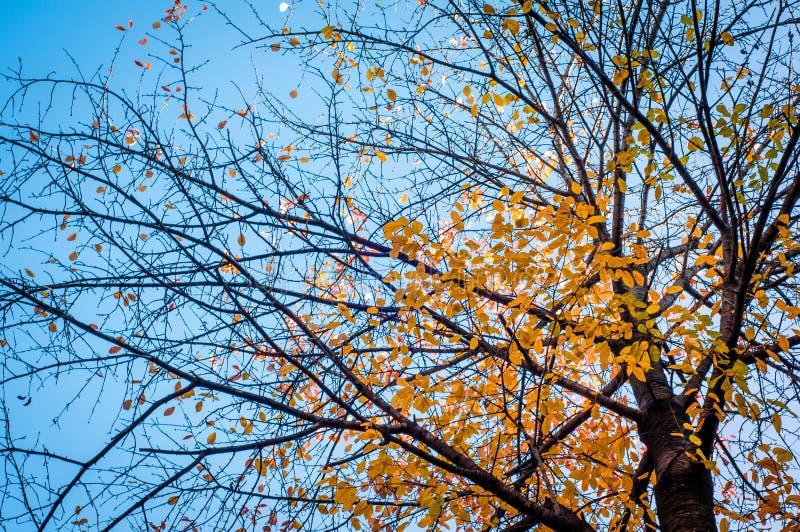 Download Arbre D'automne Sur Le Fond De Ciel Bleu Photo stock - Image du fond, branchement: 45369348