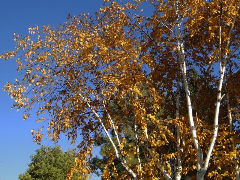 Arbre d'or d'automne images libres de droits