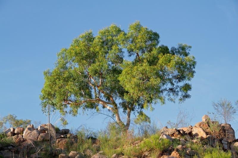 Arbre d'eucalyptus photos libres de droits
